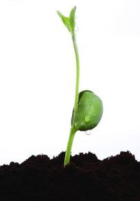 带着种子的长着细小叶子的嫩芽