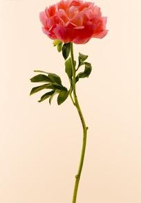一朵红色的花和叶子图片