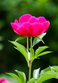 一朵玫红花朵的侧面和叶子图片