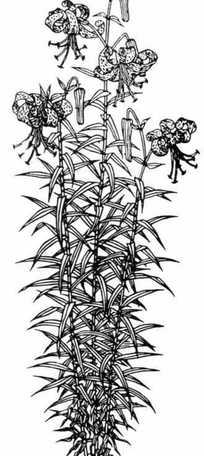 水仙花黑白图案图片