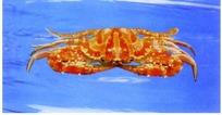 水里的花红蟹