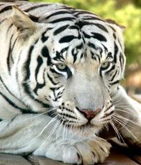 躺在木板上的白老虎