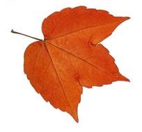 一片枫树叶的摄影图片图片