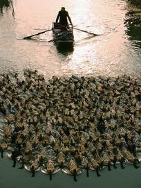 里下河风光-晚归的鸭群