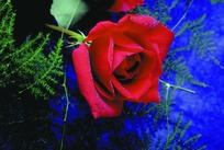 一枝红色玫瑰花