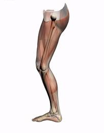 人体腿部肌肉骨骼结构图(右腿内侧面)
