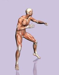做格斗动作的男性右侧肌肉结构图