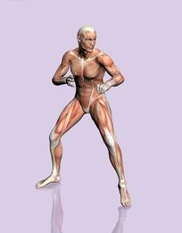 做格斗动作的男性右前侧肌肉结构图