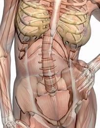 15女性人体捰体_左手撑腰的女性正面肌肉骨骼结构图