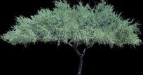 枝繁叶茂的大树素材图片图片