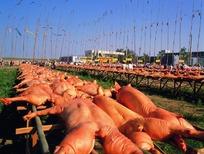 宏大的烤乳猪现场