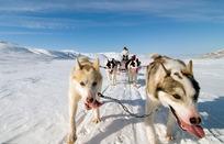 拉雪橇的狗狗摄影图片