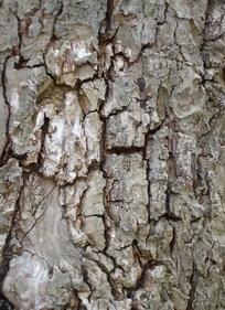树皮凹凸不平