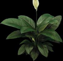 开着白花的绿巨人