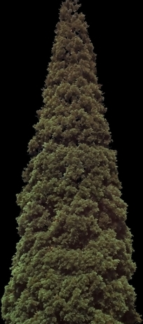 茂密的松树