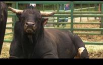 凶悍的斗牛