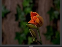 动态捕捉----橙色萱草花