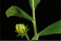 黄色小菊花
