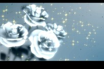 转动的四枝白色玫瑰花
