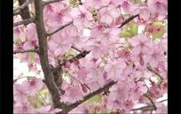 开满枝头的樱花