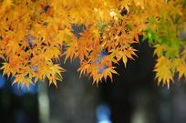 枫叶/秋天的枫叶