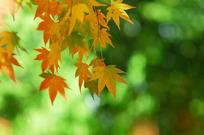 枫叶 展望 回顾/秋天的枫叶
