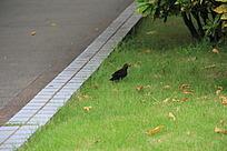 公园草地上的黑色小鸟