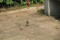 公园地板上奔走的小鸟
