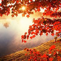 阳光透过红叶图片