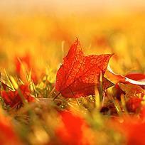 红色落叶特写图片