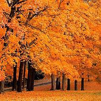 唯美金色树林