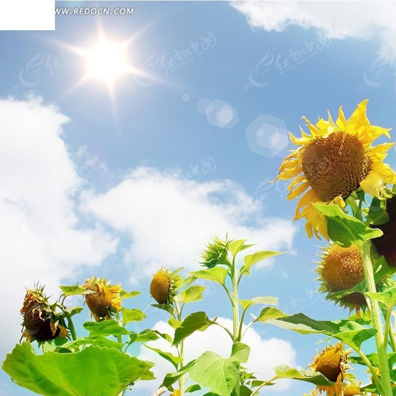 求一张阳光下的向日葵的素描图,我想临摹下,不要太复杂哟
