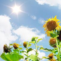 阳光下的太阳花