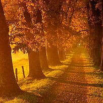 黄昏的枫叶林