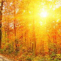 阳光下金灿灿的枫林