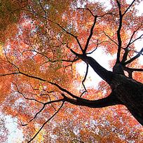 仰拍角度的枫树