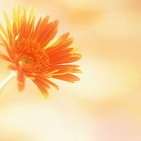 金色的菊花淘宝主图背景