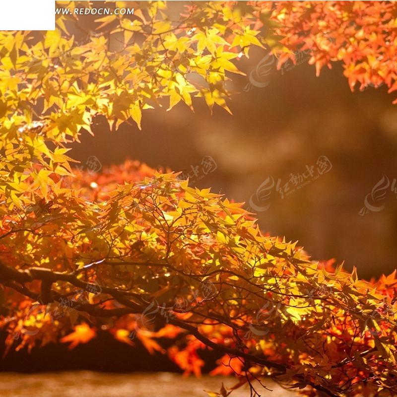 阳光下的枫树淘宝主图背景