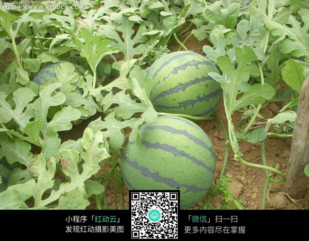 瓜田里的西瓜图片_水果蔬菜图片