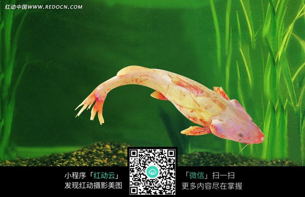 长江野生回鱼图片