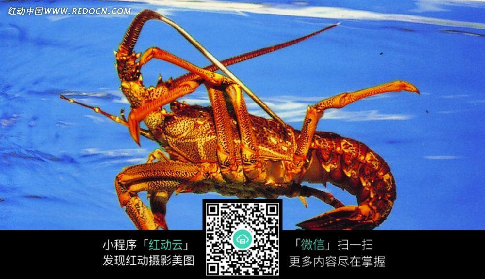 龙虾_水中动物图片