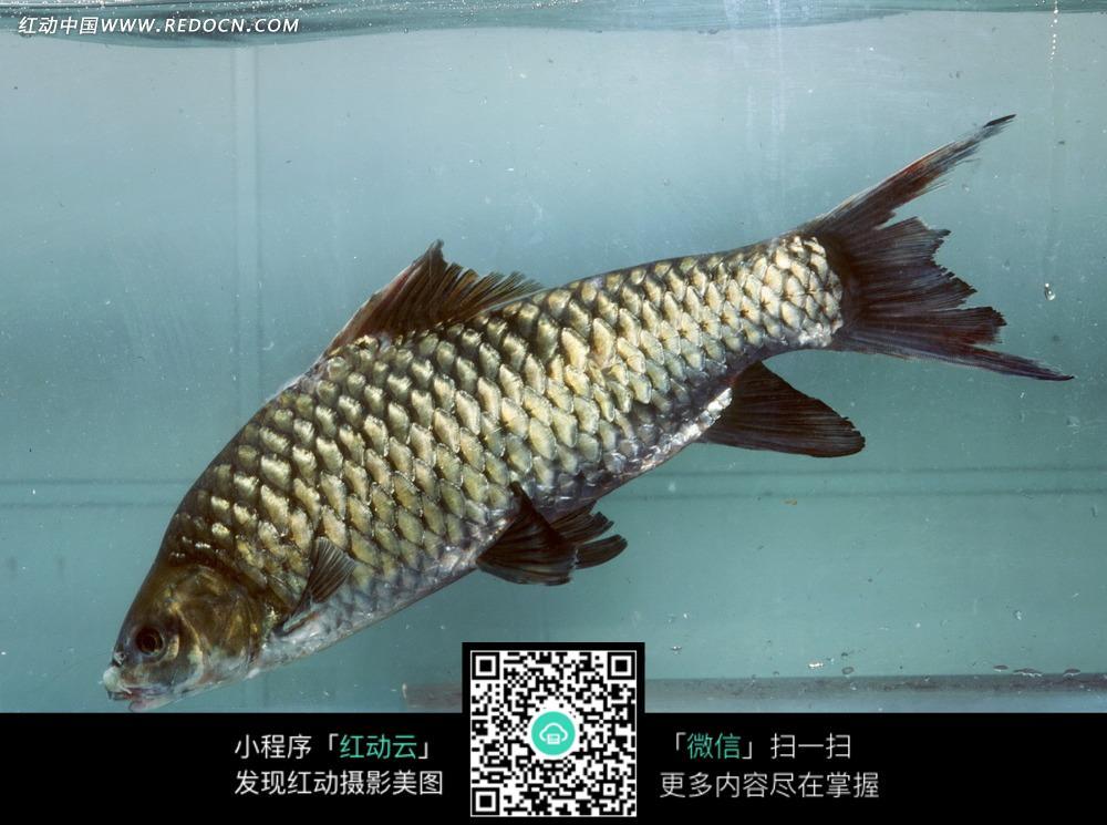 千岛湖野生大鲫鱼图片