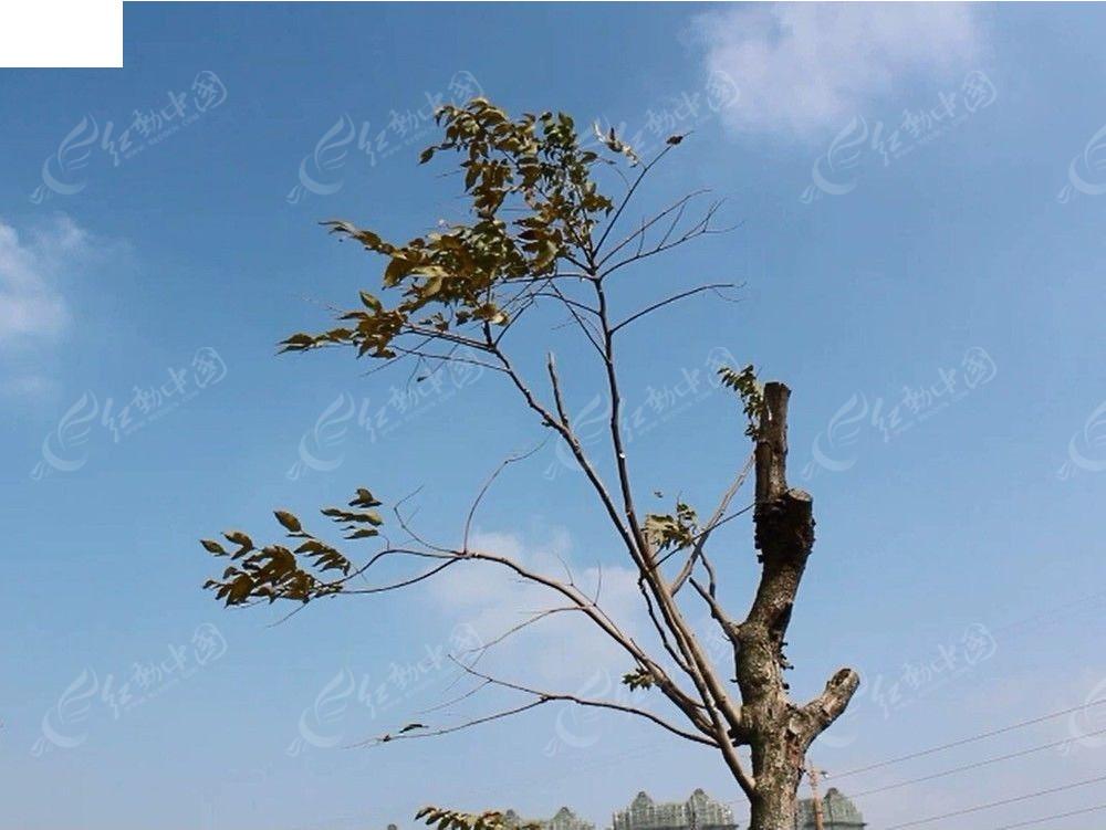 蓝天白云下被风吹动的一些树叶mov素材免费下载_红动网