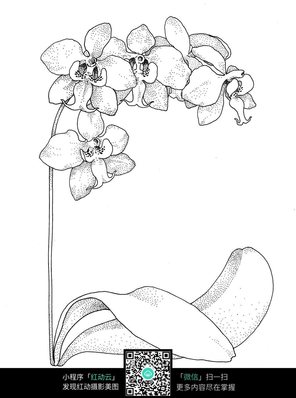 蝴蝶兰手绘