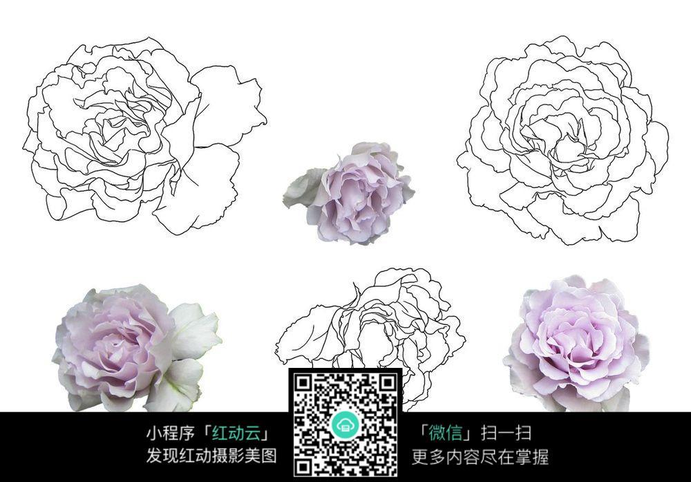 康乃馨各种形态的线描_花草树木图片