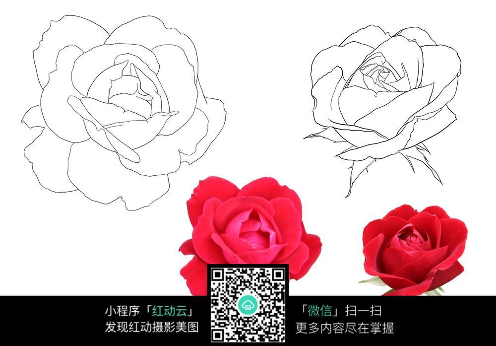 玫瑰花花朵线稿