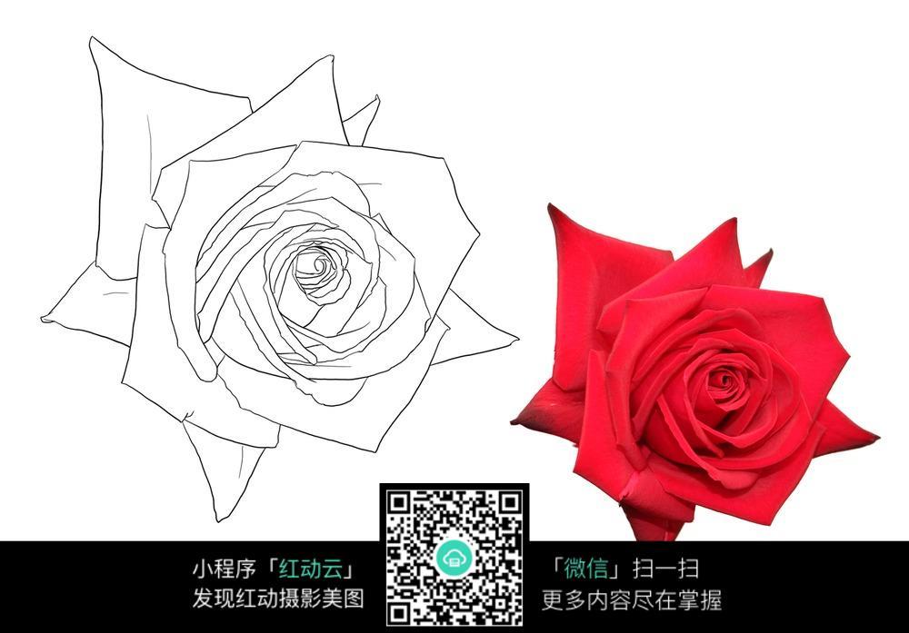玫瑰花线描素材