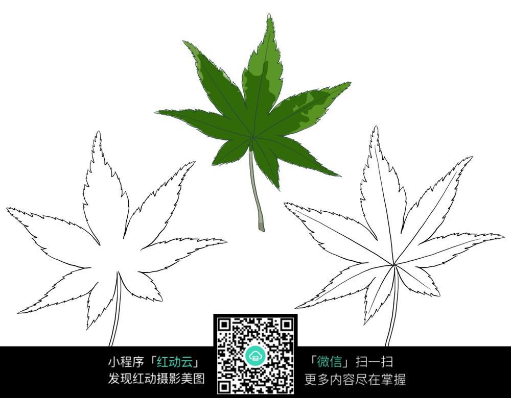 枫叶植物叶子线描