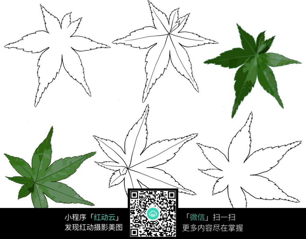 手绘绿色枫叶与线描枫叶 绿色枫叶 线描枫叶  枫叶 黑白枫叶 线稿