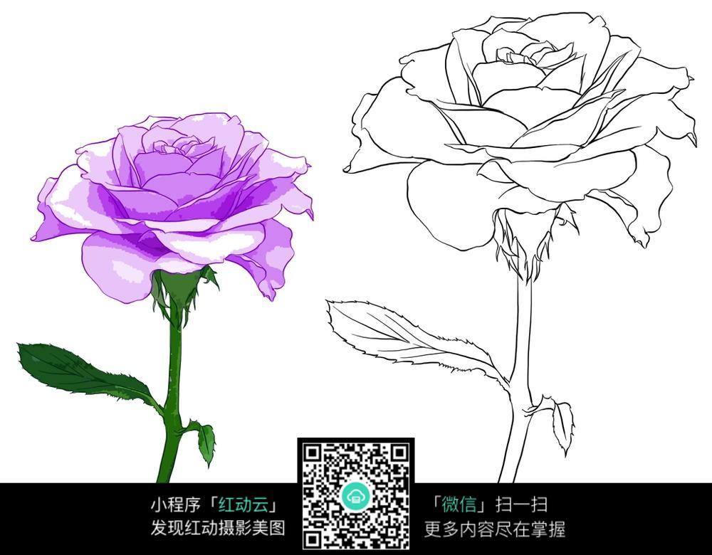 手绘紫色玫瑰与线稿图